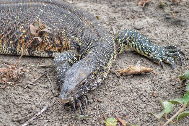 Giant lizards are thriving on Borneo's oil palm plantations